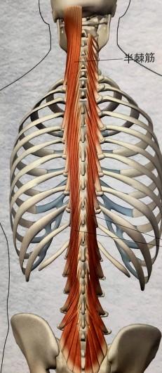 横突棘筋(多裂筋、半棘筋、回旋筋)